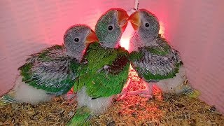Baby Alexandrine Parrots Hand Feeding tips Only On PBI