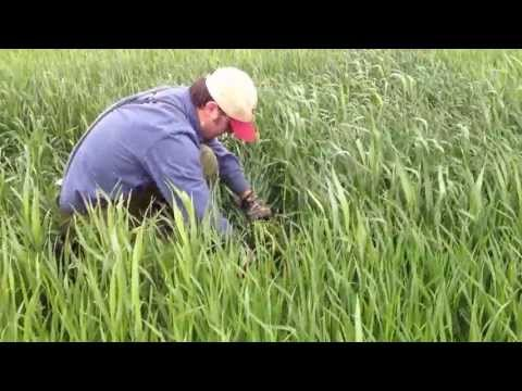 Harvesting Winter Triticale Nitrogen Trial Wyoming County 5-13-2013