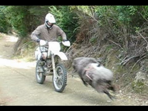 Angry ram vs rider - He's back & angrier than ever -RAMCAM edition-