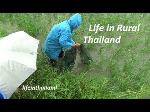 living-off-the-land,-catching-fish-in-the-rice-paddy.