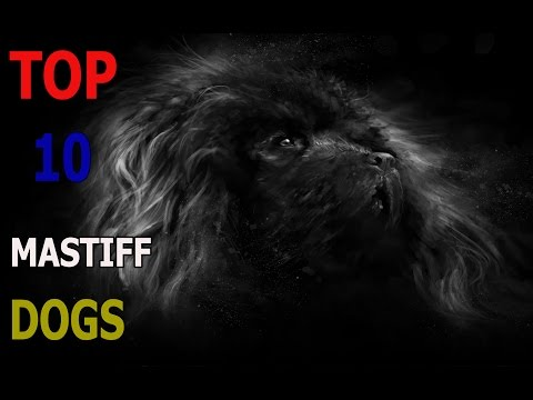 Top 10 mastiff dog breeds | Top 10 animals