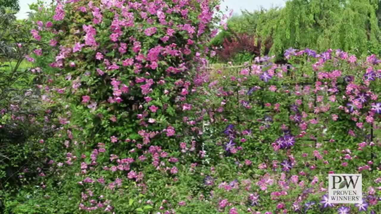 Variety introduction pink mink clematis youtube variety introduction pink mink clematis mightylinksfo
