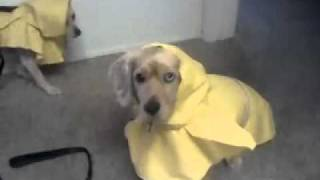 Rain Coats Dachshund Mix And Terrier Mix
