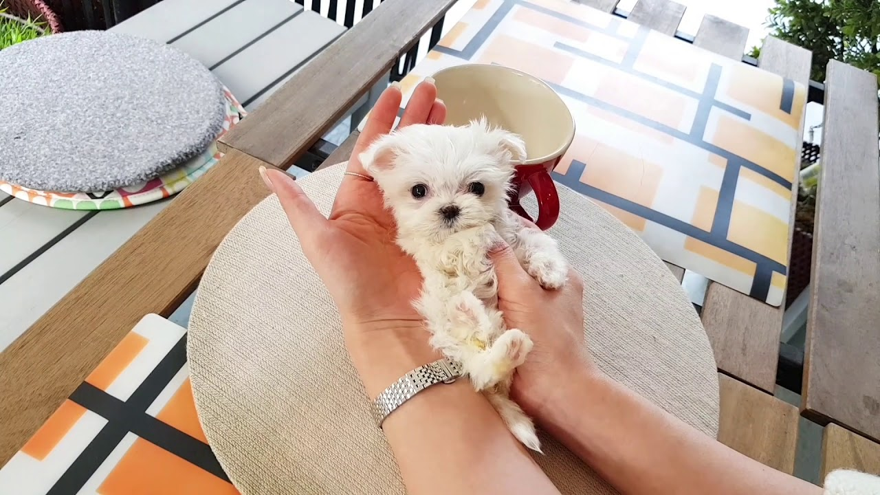 mini maltese videos so lovely puppy!! my heart!!!- Teacup puppies