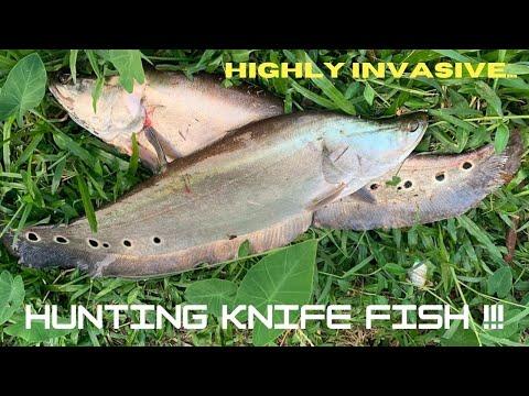 Fresh Water Fish Hunting .. Giant Knife Fish - INVASIVE !! [ Fishing Sri Lanka ]