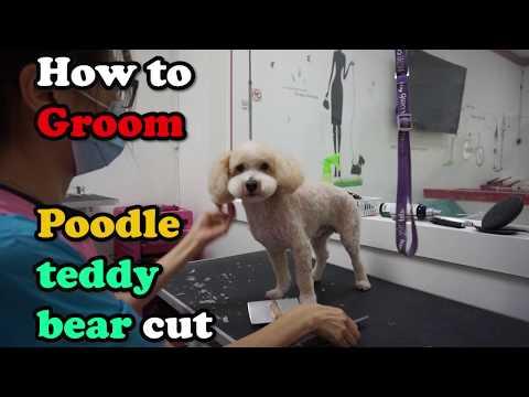 pet grooming-poodle teddy bear cut