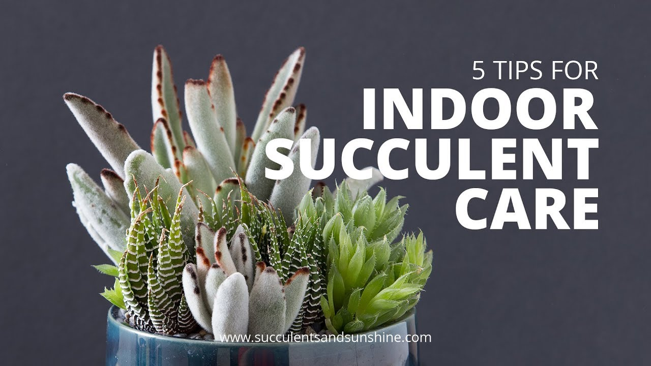 Indoor Succulent Care 5 Tips For Keeping Your Succulents Healthy