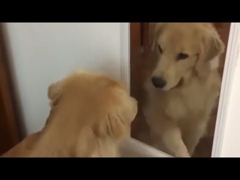 Golden Retriever tries to befriend his mirror reflection