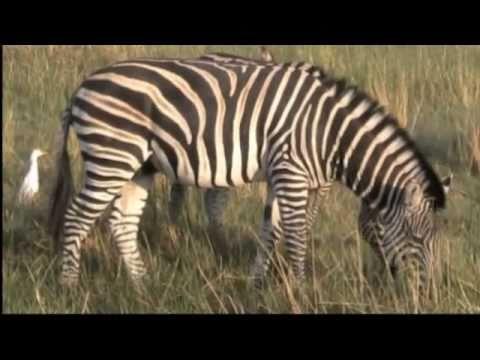 The Buffalo Safari: A Botswana Mobile Camping Safari by GrassTrack Safaris