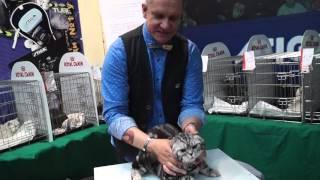 Шотландский вислоухий кот Адам