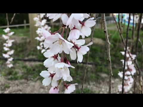 Cherry Blossom front in Kyoto 24MAR18 Kamigamo Shrine, etc.
