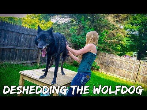 DeShedding Luna the Wolfdog