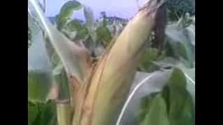 AGRICULTURE TIP invention by SRINIVAS PURELLA RECHAPALLY  JAGTIAL MANALA MALLAPOOR MANAKONDOOR