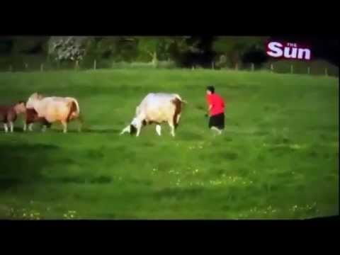 Pit Bull attacks herd of Cattle in the U.K.