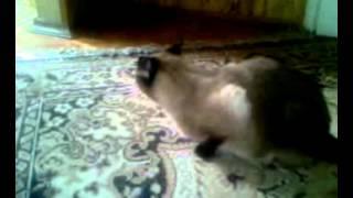 кошка кашляет как мужик