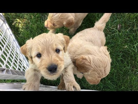 Goldendoodle Puppies Denver Available
