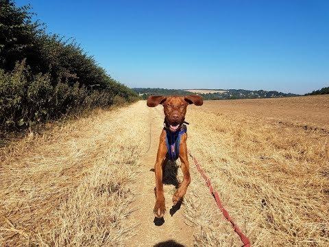 Basil - 8 Month Old Hungarian Vizsla - 3 Weeks Residential Dog Training
