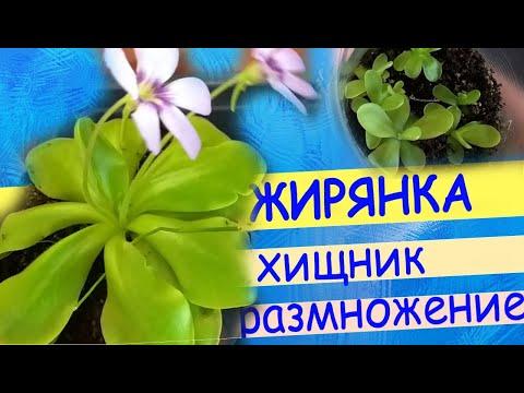 Хищное растение жирянка. Уход, цветение, размножение листом.