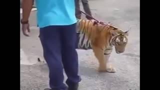viral harimau belaan bomba malaysia