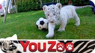 Weiße Tigerbabys Rico und Kiko I süße Tiegerbabys I Tieger mit Leihmutter