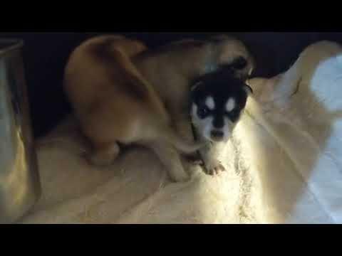 Alaskan Klee Kai mini husky puppies