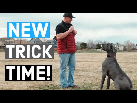 We TAUGHT our Great Dane a new trick in 5 minutes! | Great Dane Care