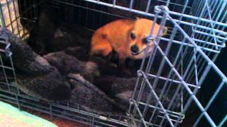 Extremely Frightened Rescued Chihuahua