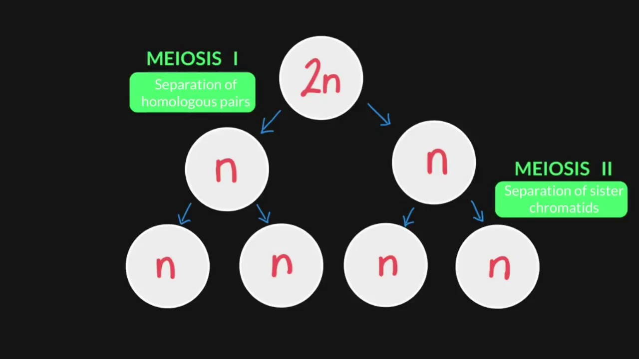 3 3 stages of meiosis [ 1280 x 720 Pixel ]