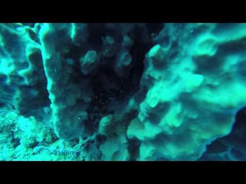 Giant Barrel Sponge Shrimp