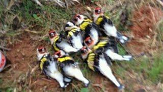 صيد طائر#الحسون بكميات هائلة chasse#chardonneret