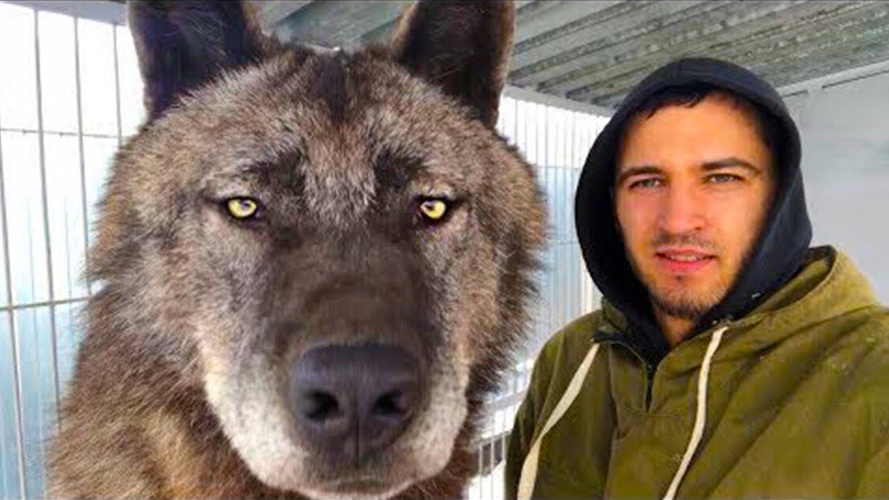 أكبر ذئب على الكوكب ، الذئب الكندي ، اغرب الحيوانات الأليفة المتطرفة
