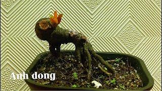 Độc đáo bonsai trồng từ rễ