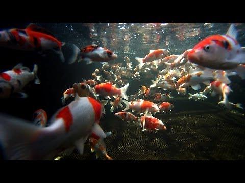 Koi Carp Male and Female Fish Identification 3of 3