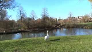 Knobbelzwaan - Cygnus Olor- Mute Swan- Vrijlaten mannetje van Guusje 18 febr  2015