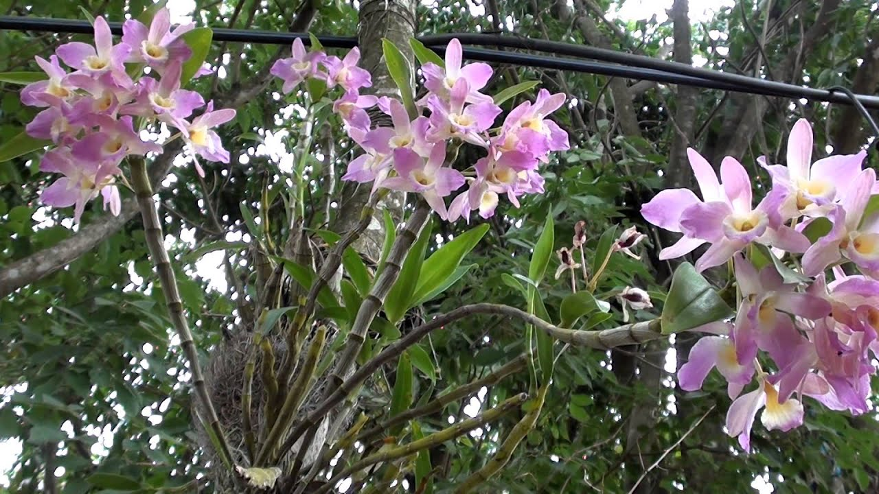 Выращивание орхидеи Башмачок ПафиопедилумPaphiopedilum