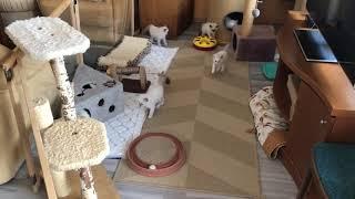 ragdoll kittens - all togheter running