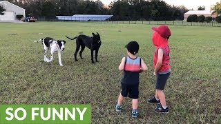 Huge Great Dane gently plays with little kids