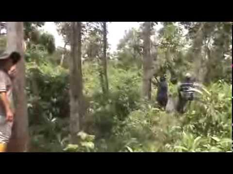 Pohon Penghasil Kayu Gaharu Aceh