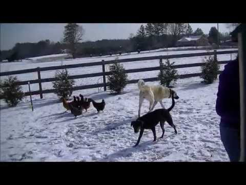 Colonial Kangal Livestock Guardian Dogs U.S.A. The Biggest Dogs on Earth!