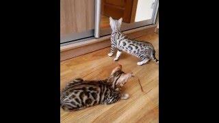 """бенгальский кот - питомник кошек Lantana Fly  - бенгальские котята """"Cattery Bengal Cats"""""""