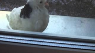 видео Приметы о голубях - если голубь залетел в окно?