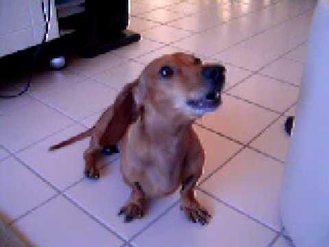 Bob o Cão Cantor