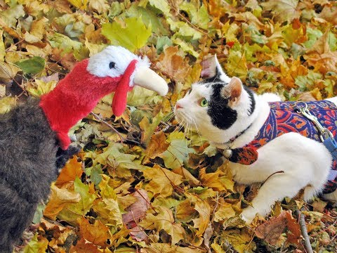 Happy Thanksgiving Turkey video for kids| Cute Funny Cat animal friends video| COLD TURKEY