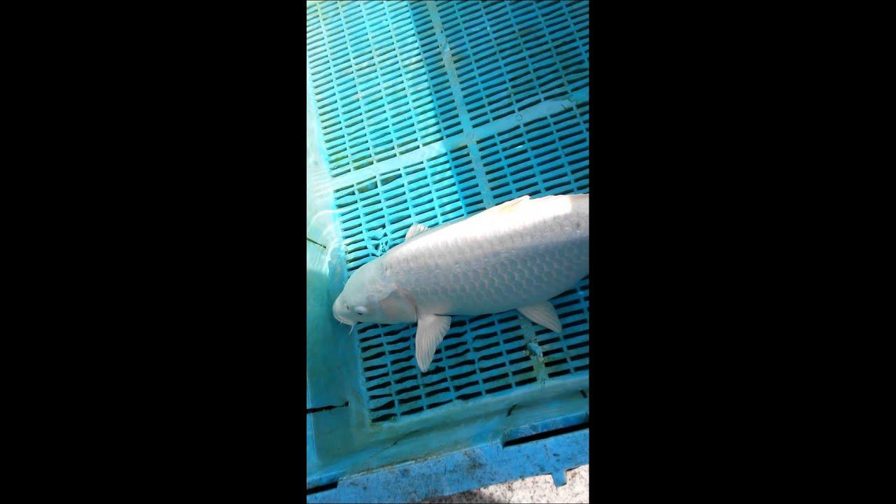 20 Inch Platinum Ogon 395 Koi Carp Pond Fish Youtube