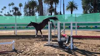 Quality 3 year old Hanoverians Offered For Sale *