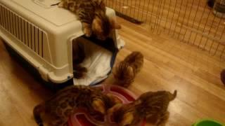 Бенгальские котята и их новая игрушка
