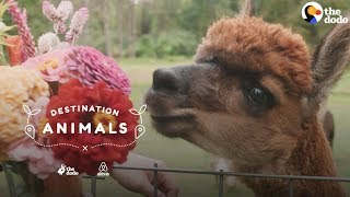 Surround Yourself With Fuzzy Alpacas | The Dodo Airbnb Experiences