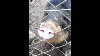 Porco do Mato - Queixada dando um oi