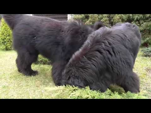 Day In The Life: My newfoundland dogs