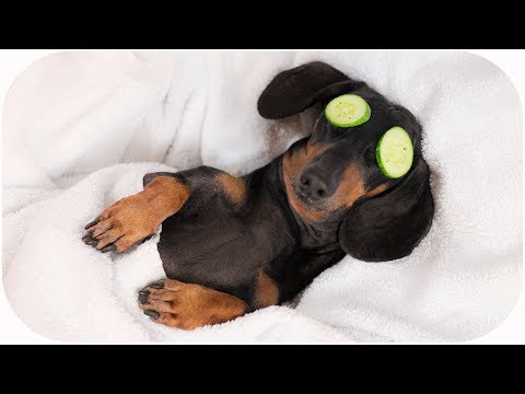 Spa Day with cute dachshund! Funny dog video!